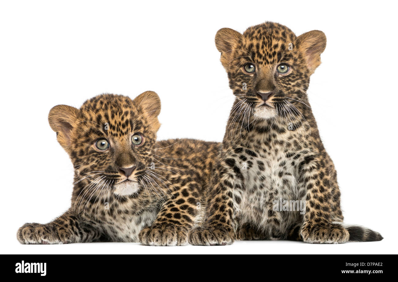 Spotted Leopard cubs, Panthera pardus, lying and sitting, 7 weeks old, against white background - Stock Image