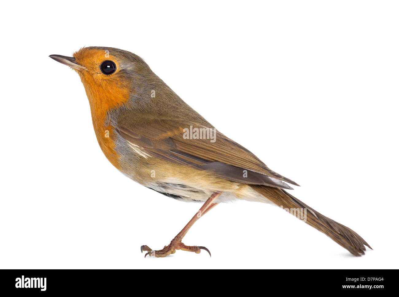 European Robin, Erithacus rubecula, standing against white background - Stock Image