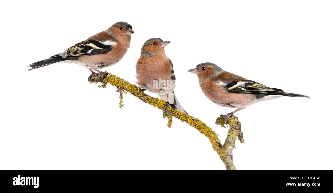 Three Common Chaffinches, Fringilla coelebs, perched on a branch against white background - Stock Image