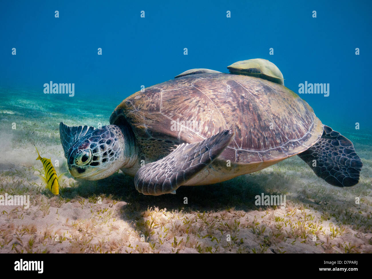 A Green Turtle (Chelonia Mydas) feeds on the sea grass in the sheltered bay at Marsa Abu Dabab in the Southern Egyptian Stock Photo