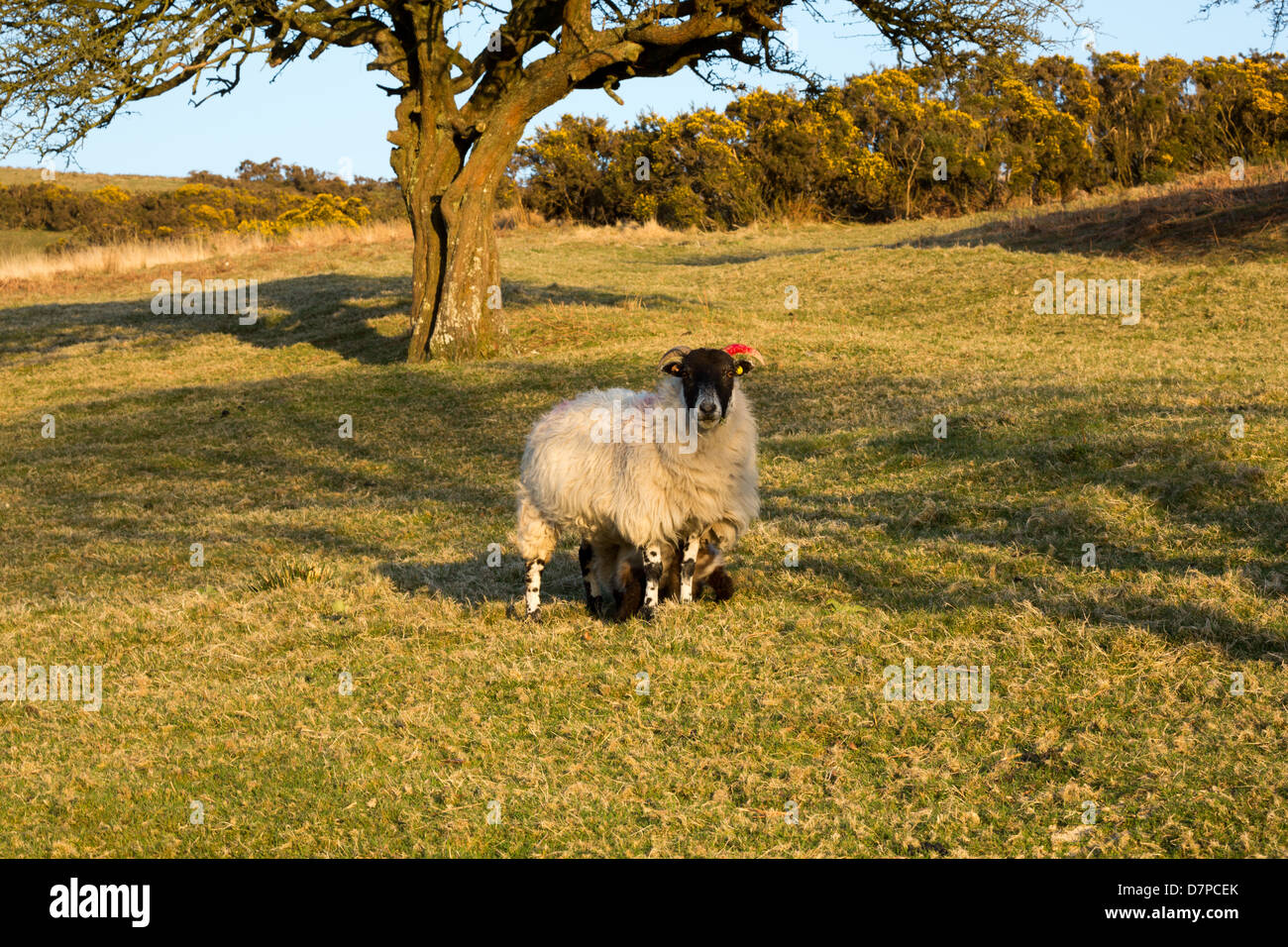 Moorland sheep Dartmoor National Park Devon Uk - Stock Image