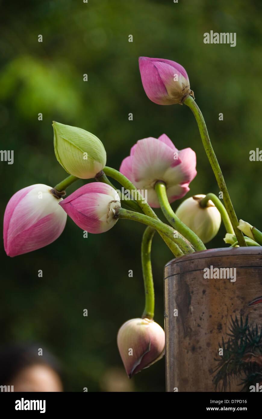 Lotusblueten lotus flowers, lotus flower (Nelumbo), Chiang Mai Stock Photo