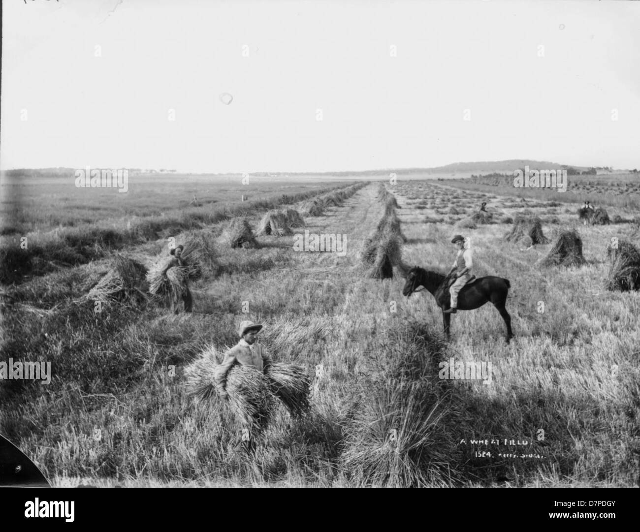 A wheat field - Stock Image