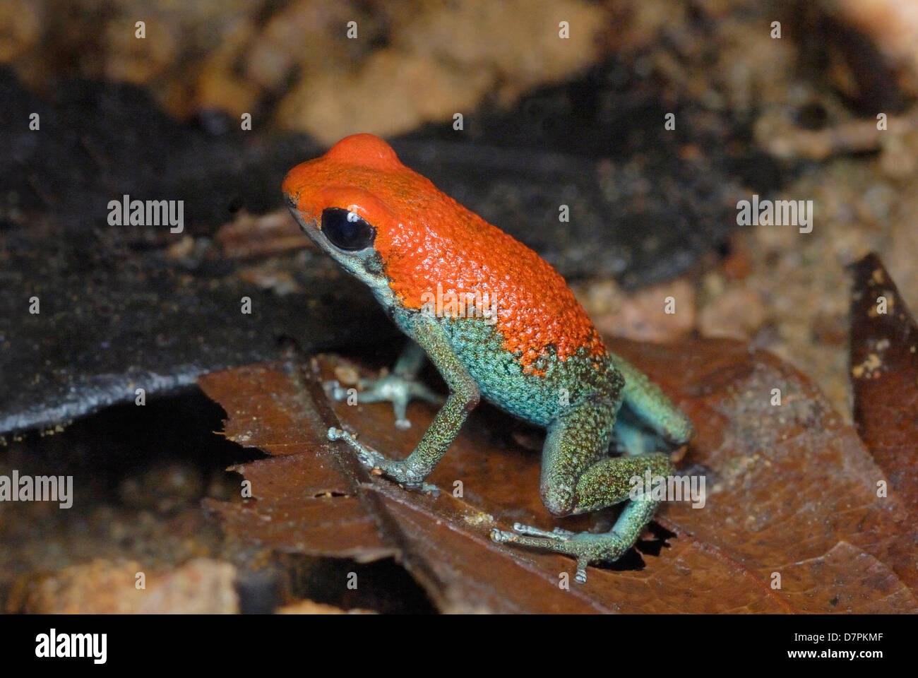 Granular Poison Dart Frog (Dendrobates granuliferus) in Costa Rica rainforest - Stock Image