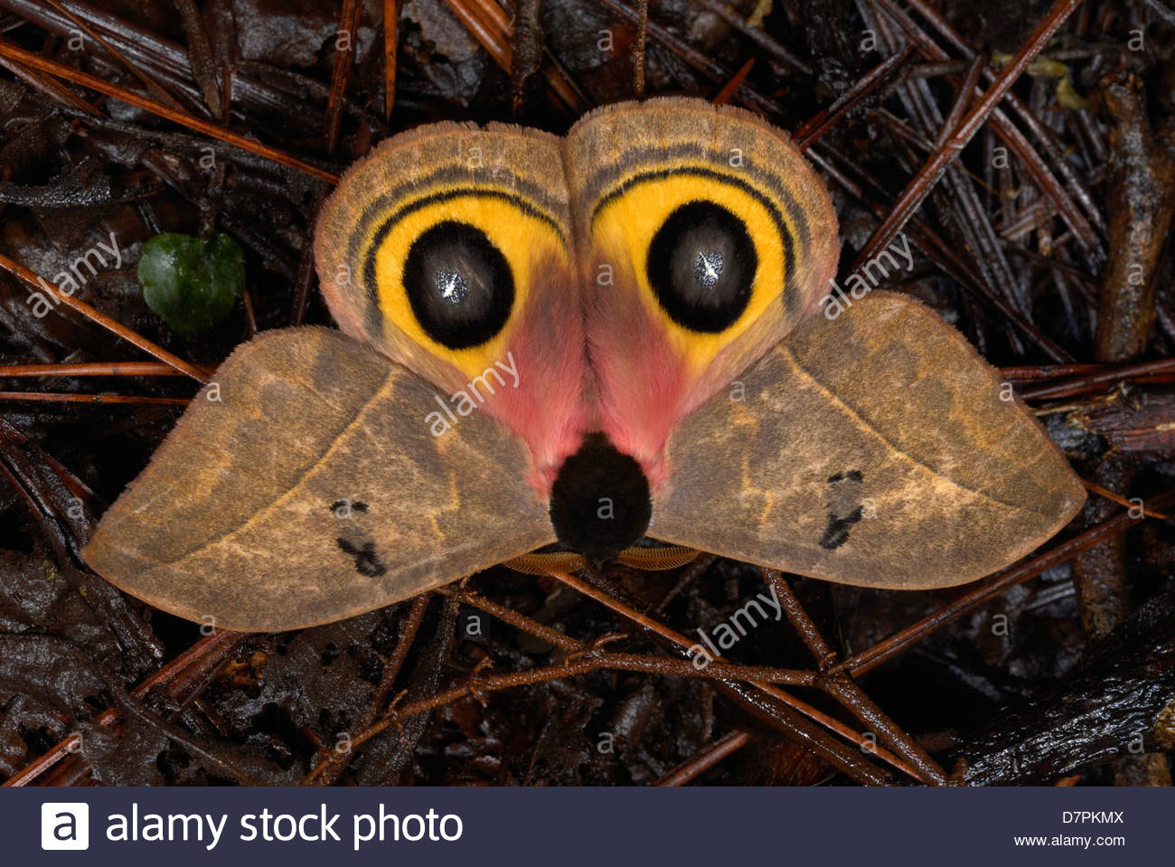Owl Moth (Automeris belti) showing defensive eyes and 'Opossum Face' - Stock Image