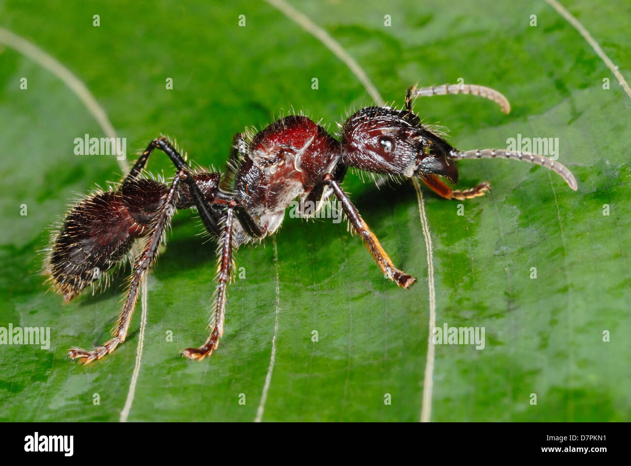 Enormous Bullet Ant (Paraponera clavata) in Costa Rica rainforest Stock Photo