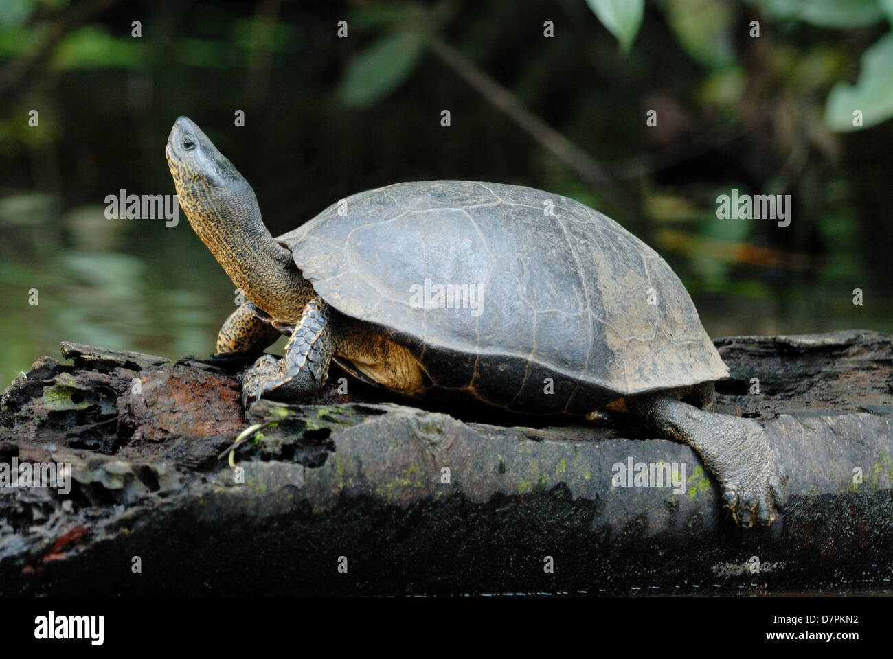 Black River Turtle (Rhinoclemmys funerea) in Tortuguero National Park, Costa Rica. - Stock Image