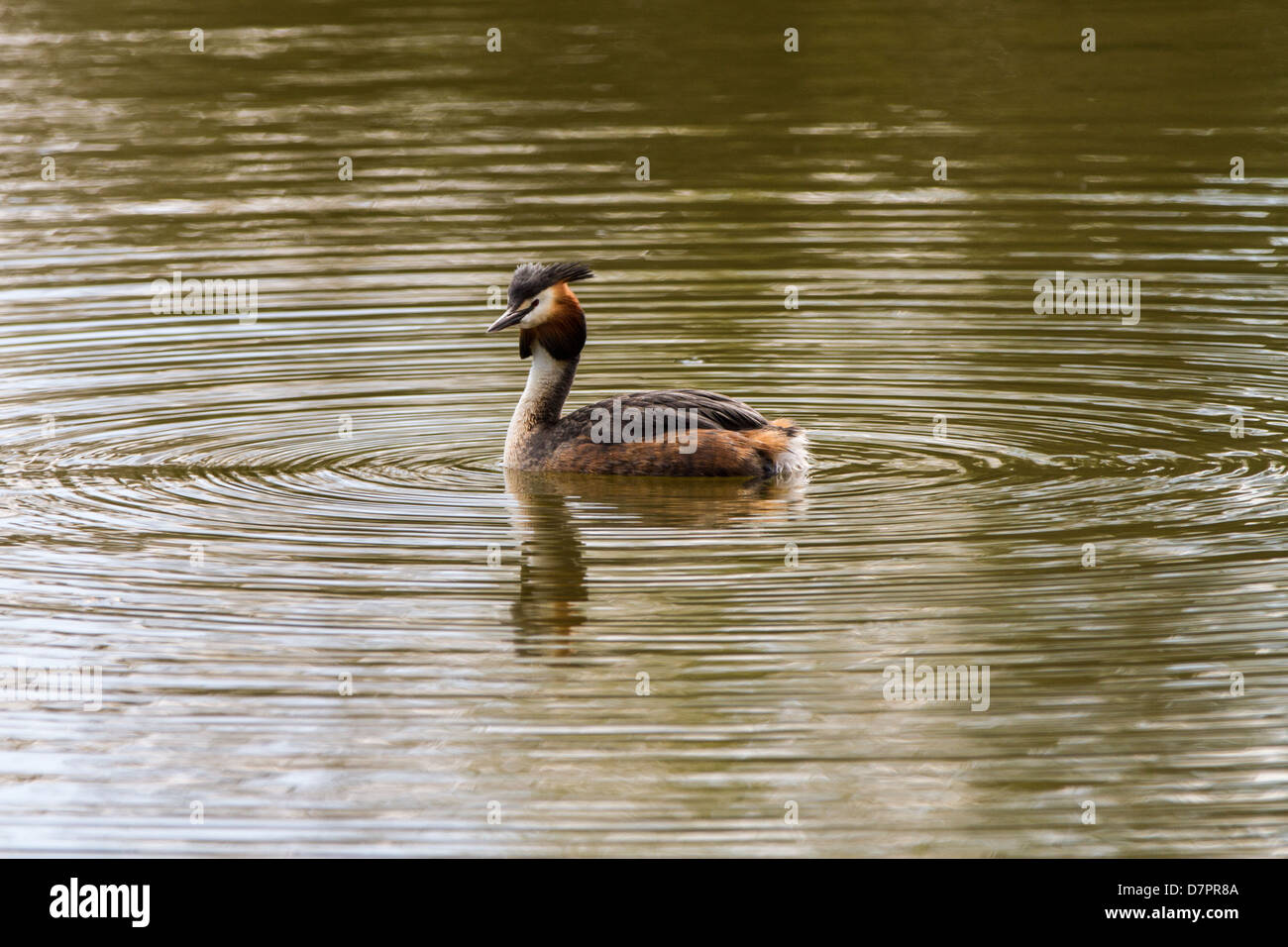 Great Crested Grebe swimming on lake in Sessex - Stock Image