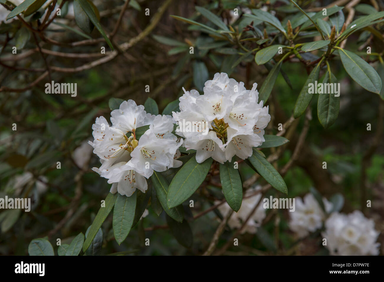 white rhododendron stock photos white rhododendron stock. Black Bedroom Furniture Sets. Home Design Ideas