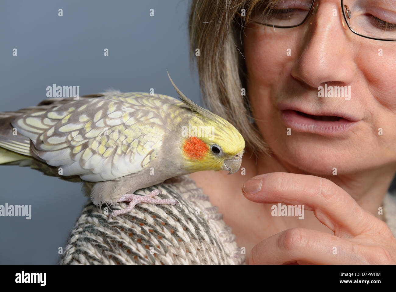 Relaxed female pet pearl cockatiel bird on woman's shoulder looking at her finger - Stock Image