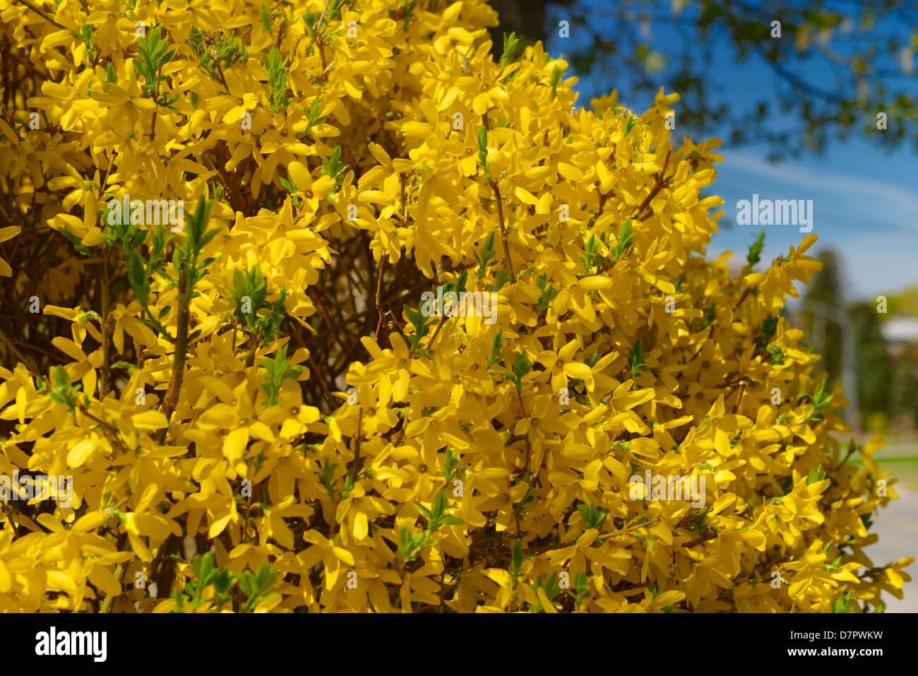 Spring Yellow Forsythia Bush Shrub Stock Photos Spring Yellow