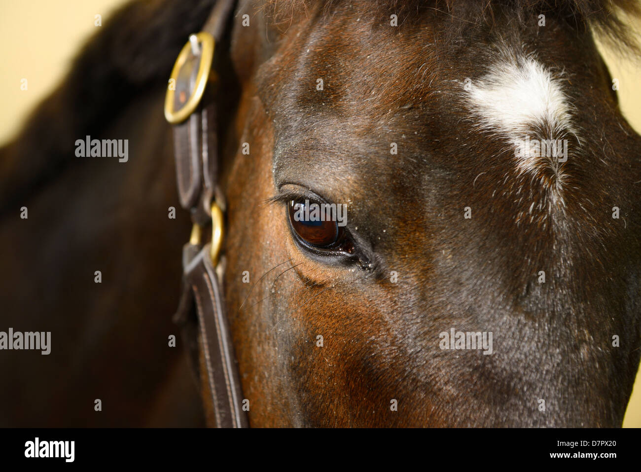 Eye of bay gelding thoroughbred horse sedated for treatment of wound with Derazil - Stock Image