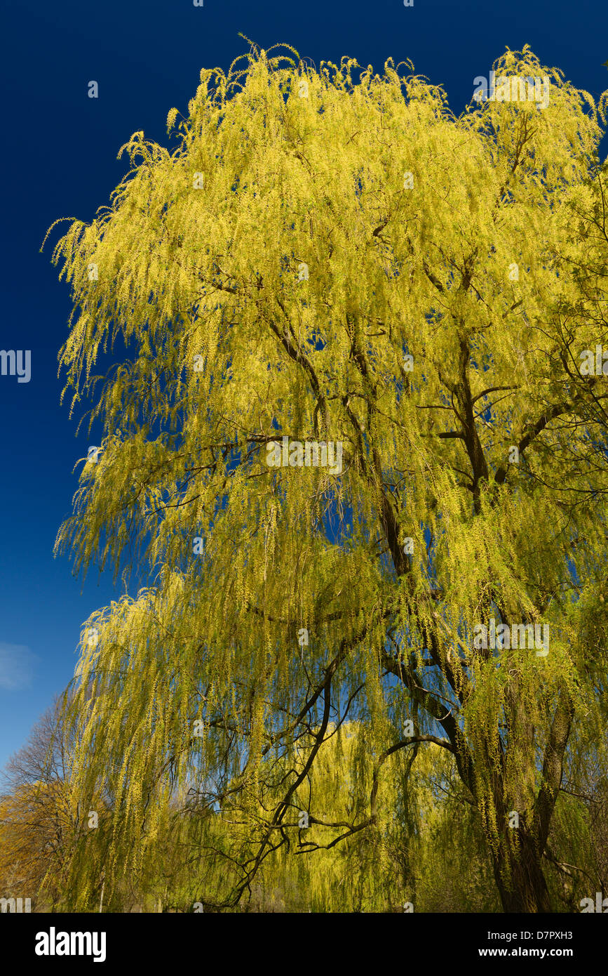 Yellow Willow Tree