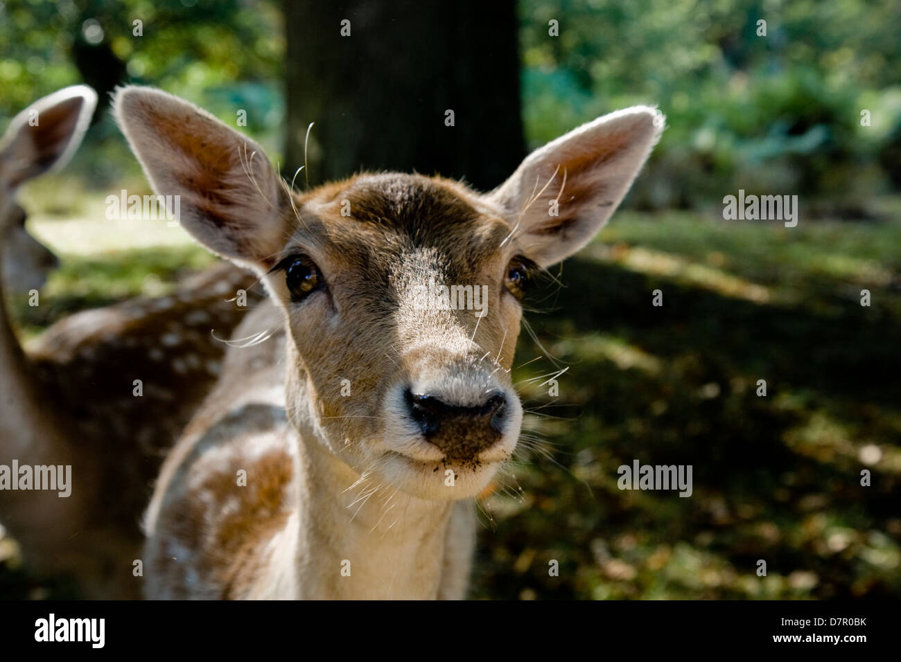 Young fallow deer looking directly into the lens.  Close up, a portrait of Bambi. - Stock Image