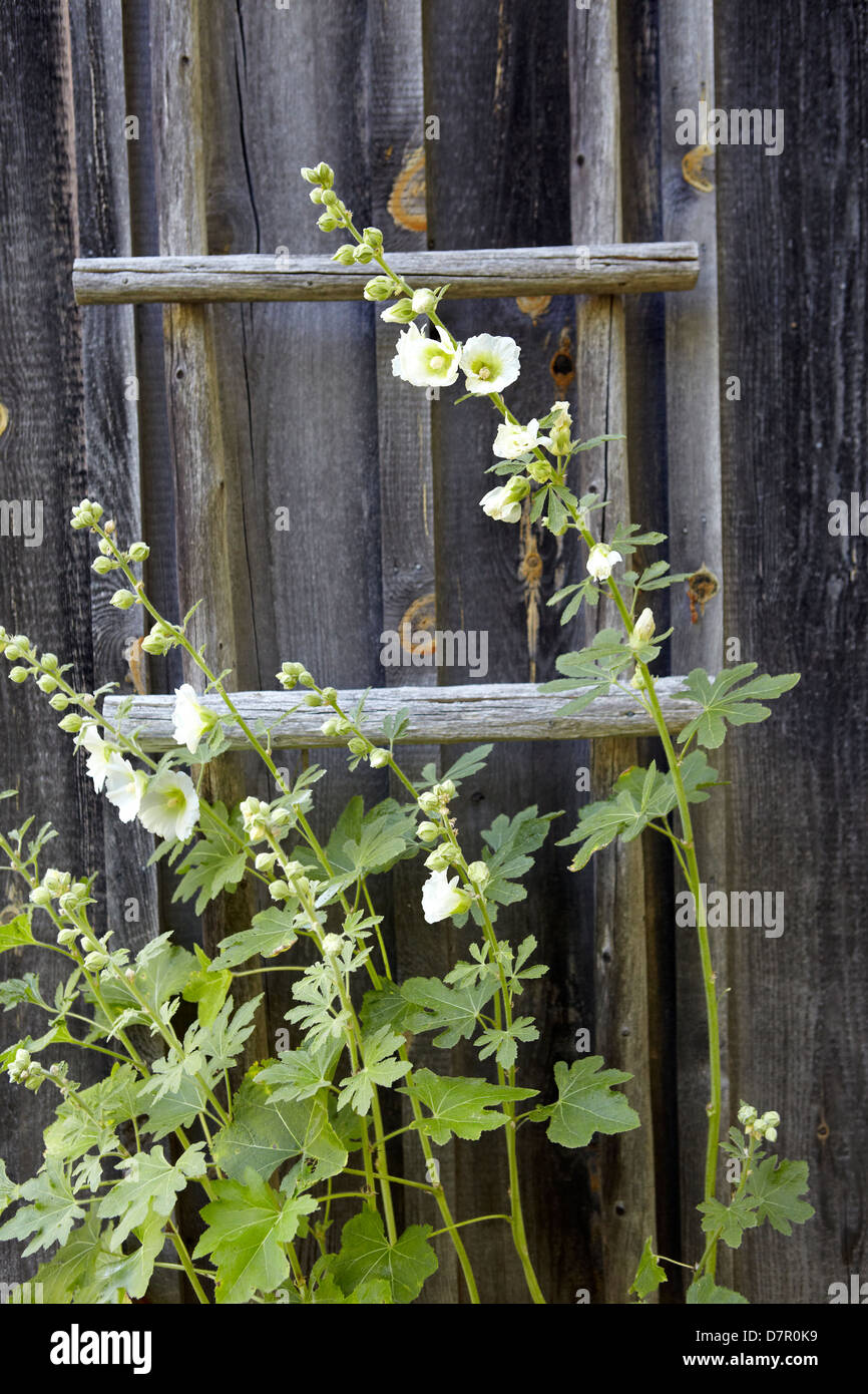 Hollyhock growing against ladder on weathered cottage - Stock Image
