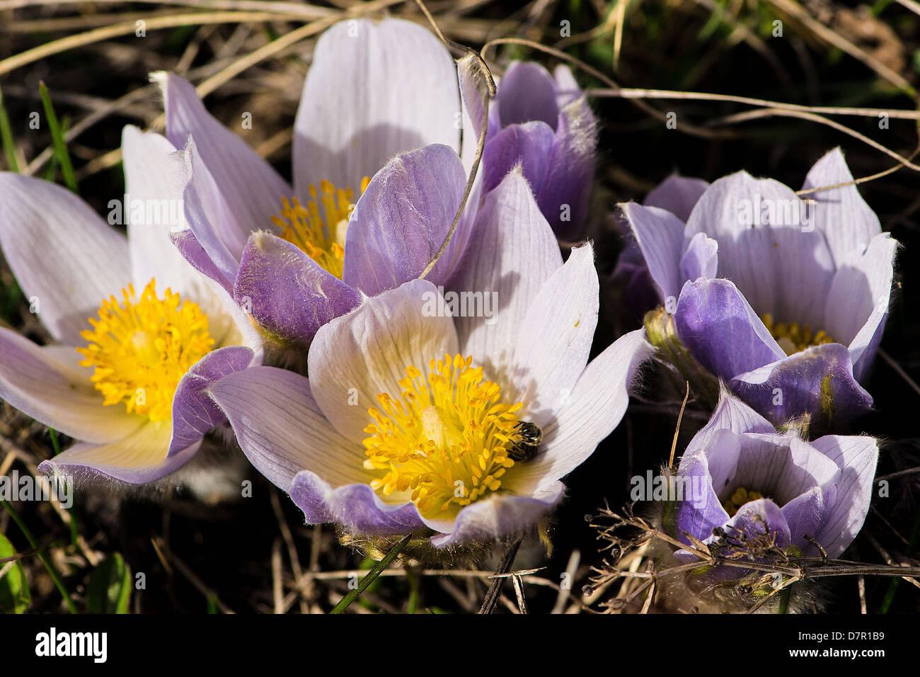 Crocus (crocuses, croci) , iris family, perennials, corms Cyprus hills, Alberta - Stock Image