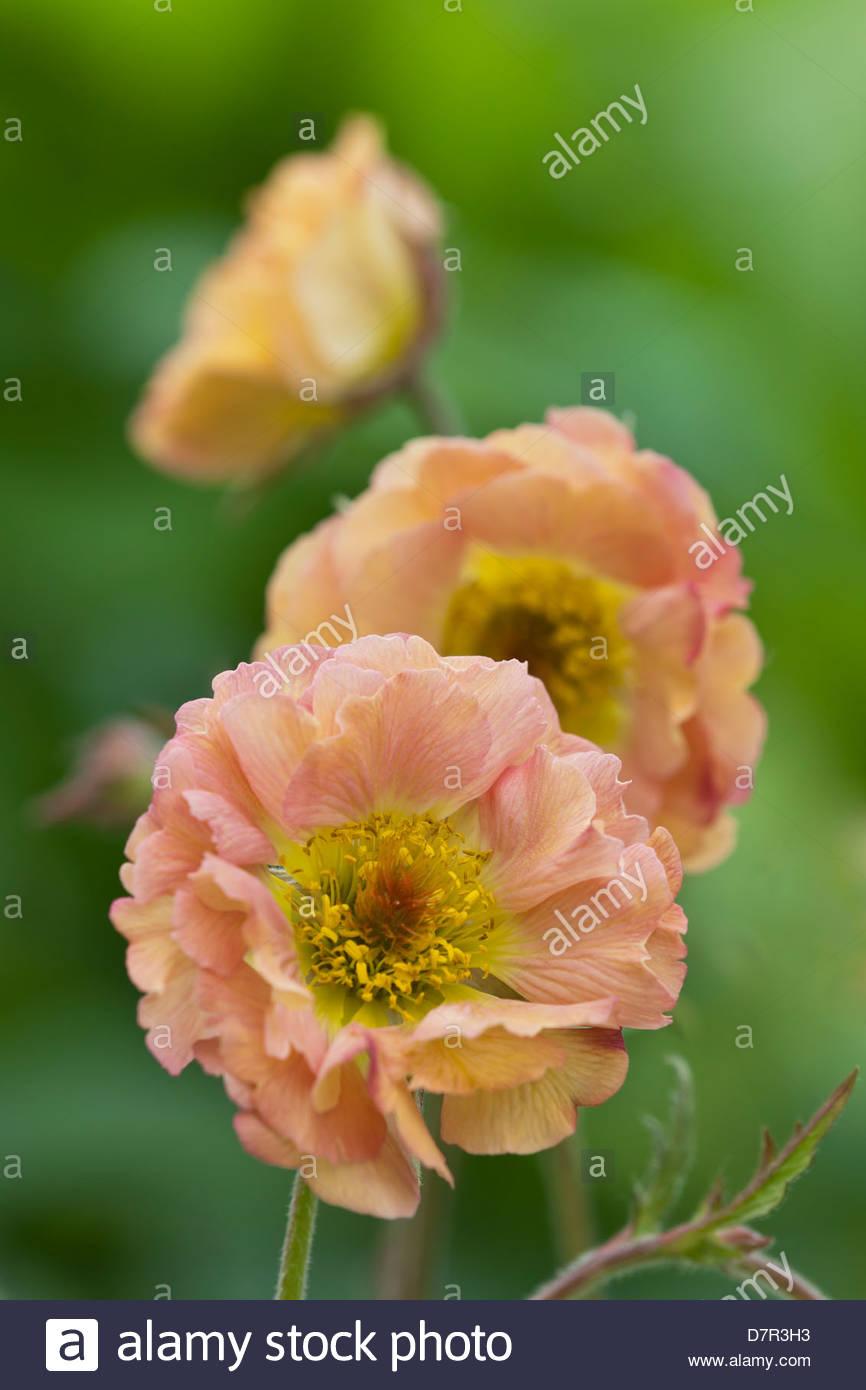 Avens geum urbanum mai tai herb bennet summer flower perennial may avens geum urbanum mai tai herb bennet summer flower perennial may peach pink garden flower mightylinksfo