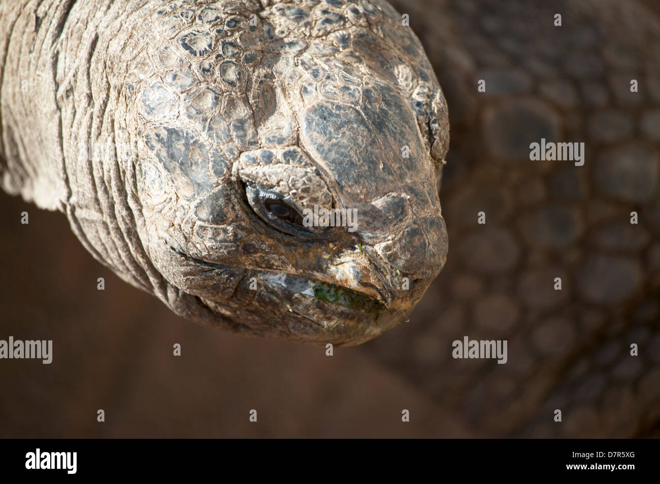Close up head shot of a Giant tortoise  Geochelone gigantea - Stock Image