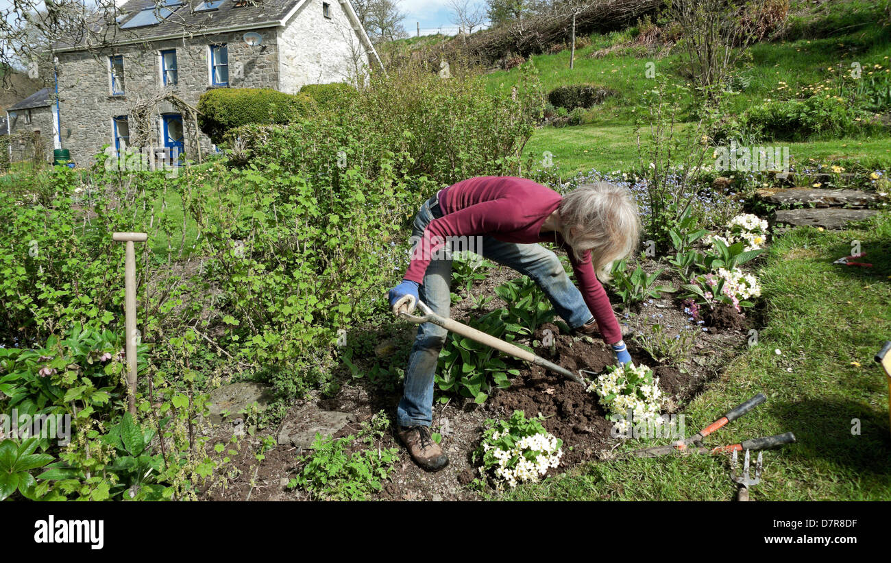 Woman outside stone cottage digging lifting primroses near blackcurrant bushes garden on slope in spring Carmarthenshire - Stock Image