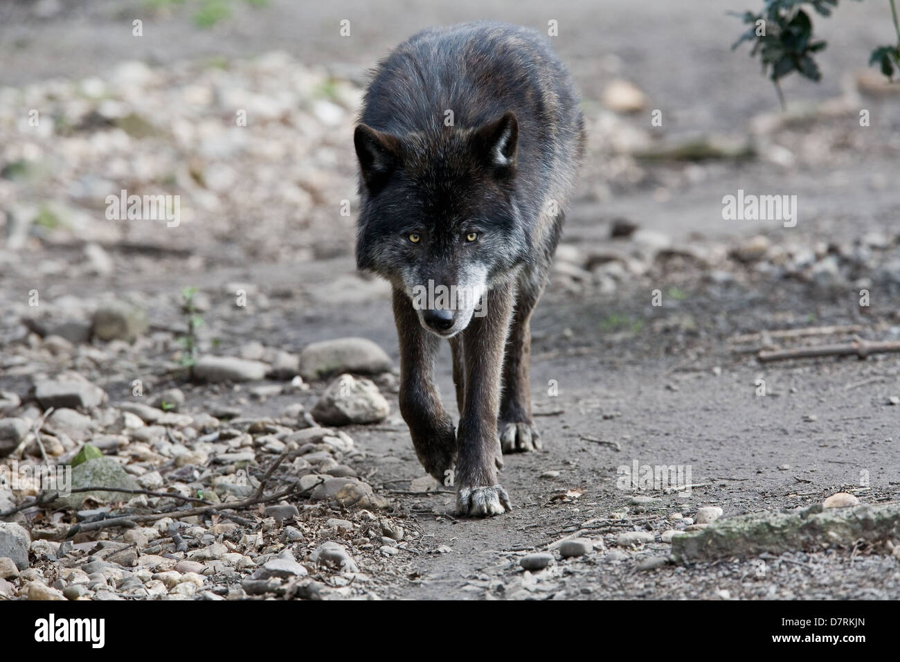 Eastern Timber Wolf Stock Photos & Eastern Timber Wolf Stock Images