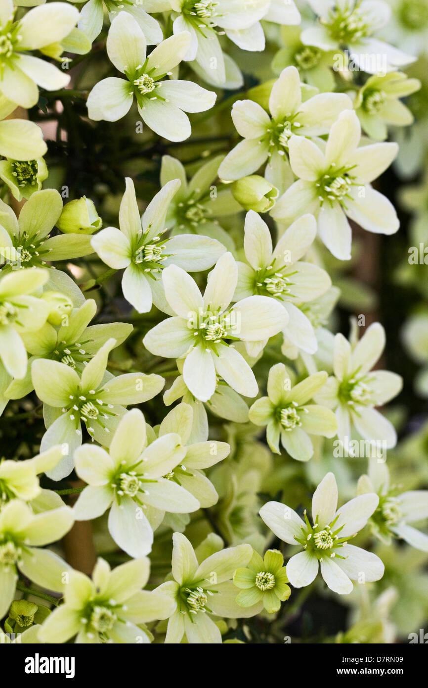 Spring flowering clematis stock photos spring flowering clematis evergreen spring flowering clematis mightylinksfo