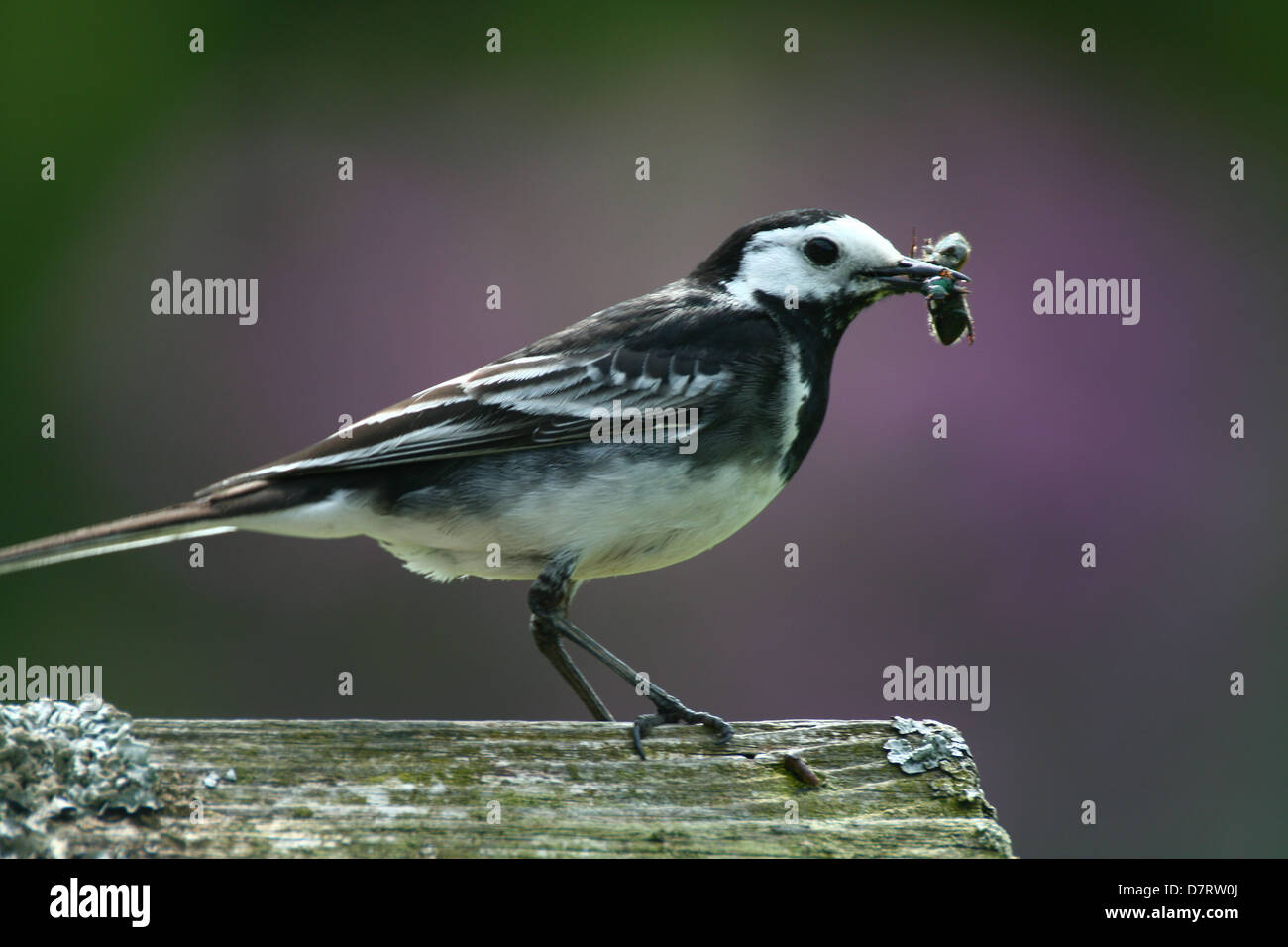 Pied Wagtail (Motacilla alba), perches with food in its beak. - Stock Image