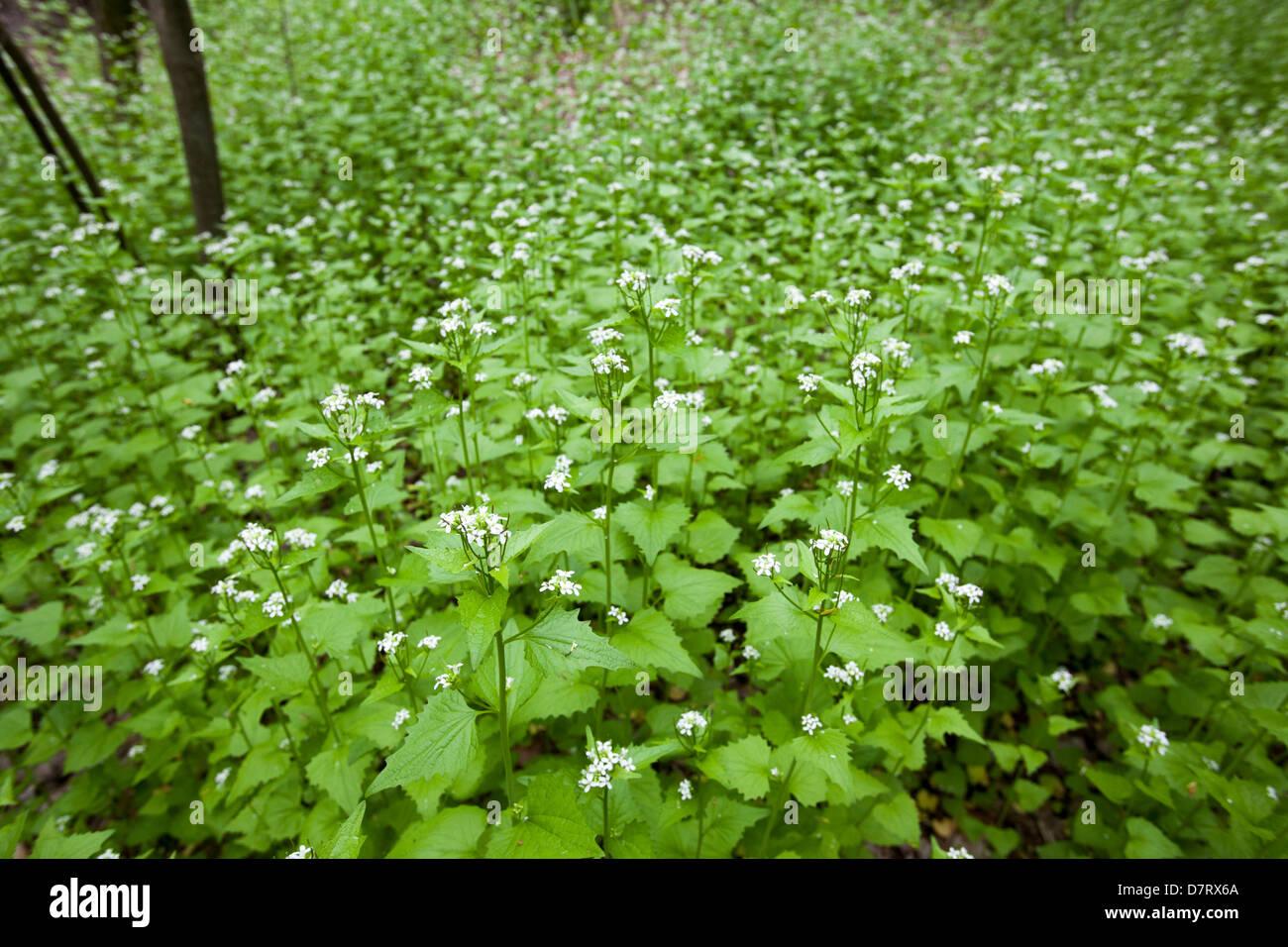 Garlic mustard (Alliaria petiolata), an invasive species, in a city park in Detroit. Stock Photo