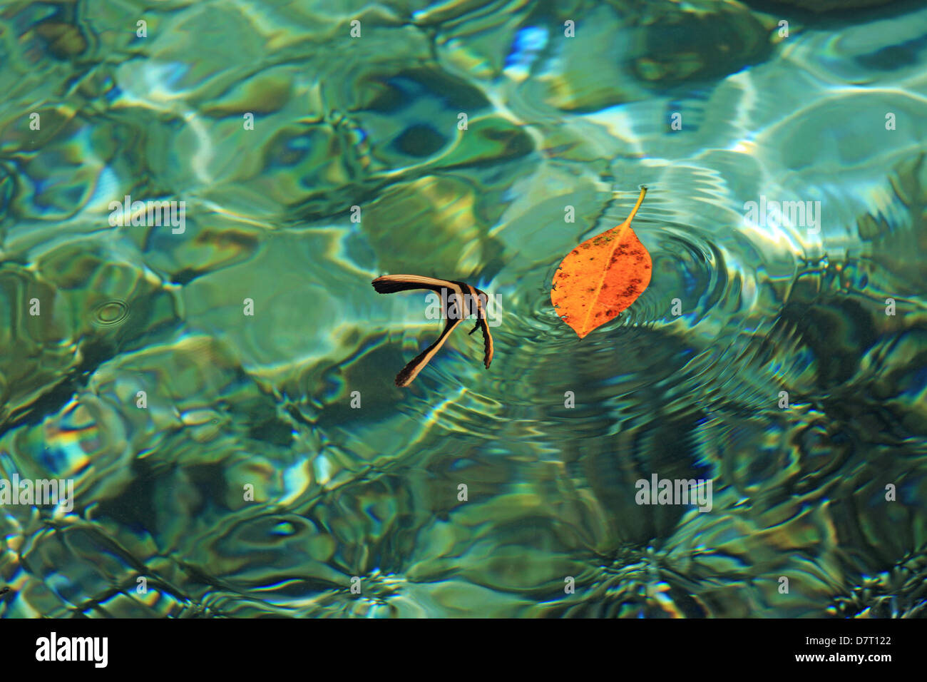 juvenile bat fish hunting by imitating a leaf on the water surface, Bangka Island, North Sulawesi, Indonesia - Stock Image