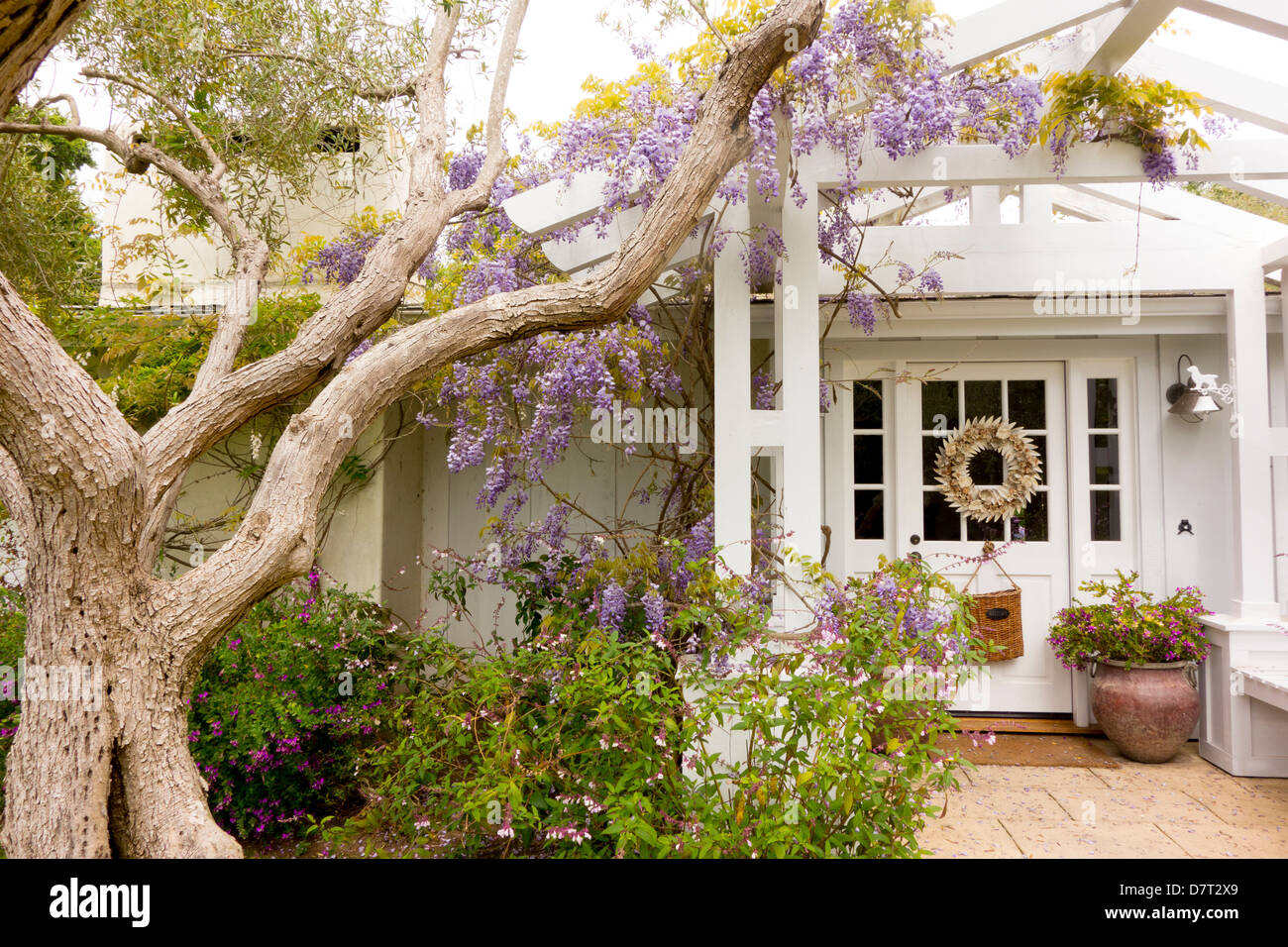 olive tree and wisteria at front door of cottage in Montecito in Santa Barbara; California; USA Stock Photo