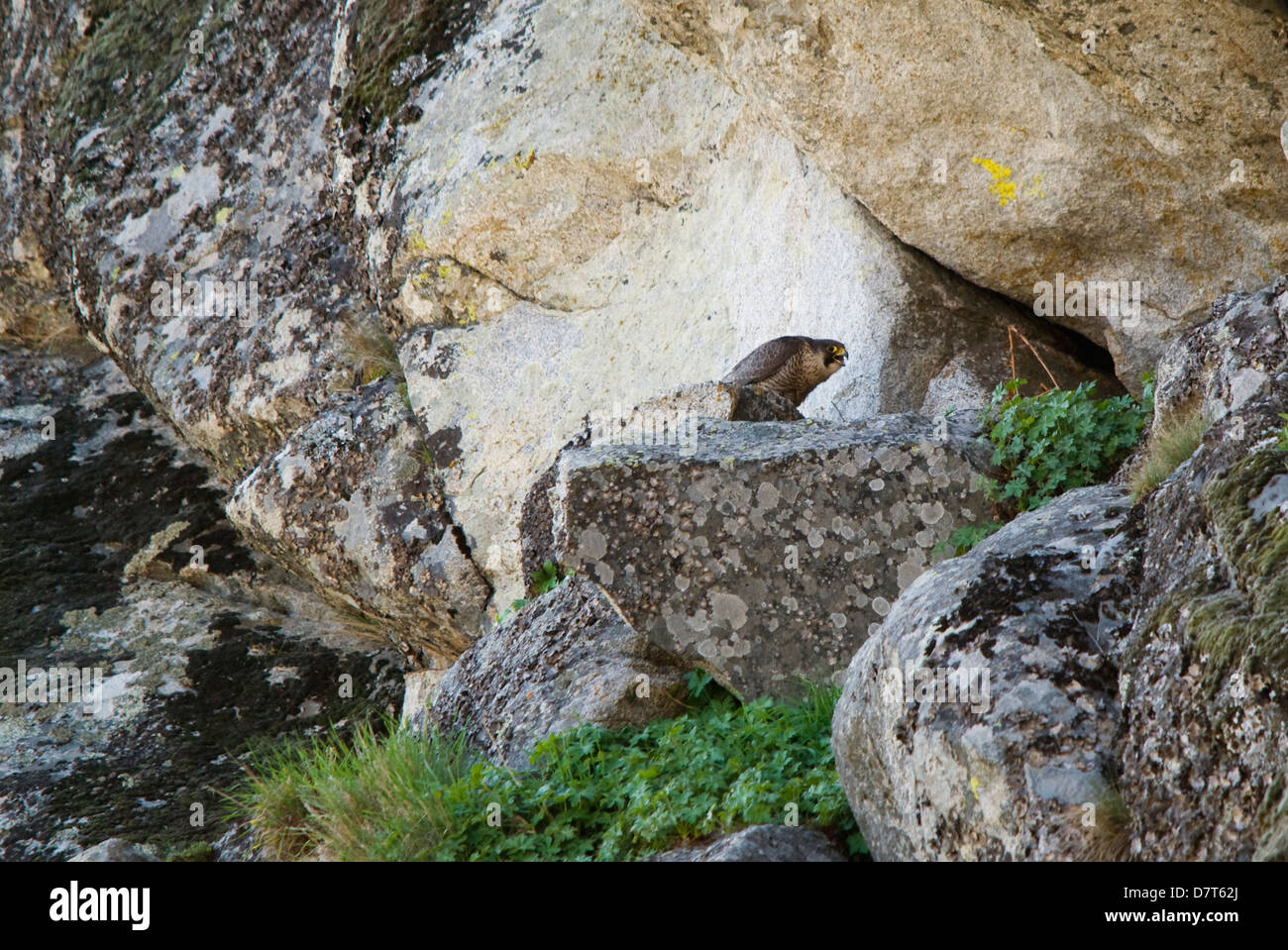 falcon nest stock photos amp falcon nest stock images alamy