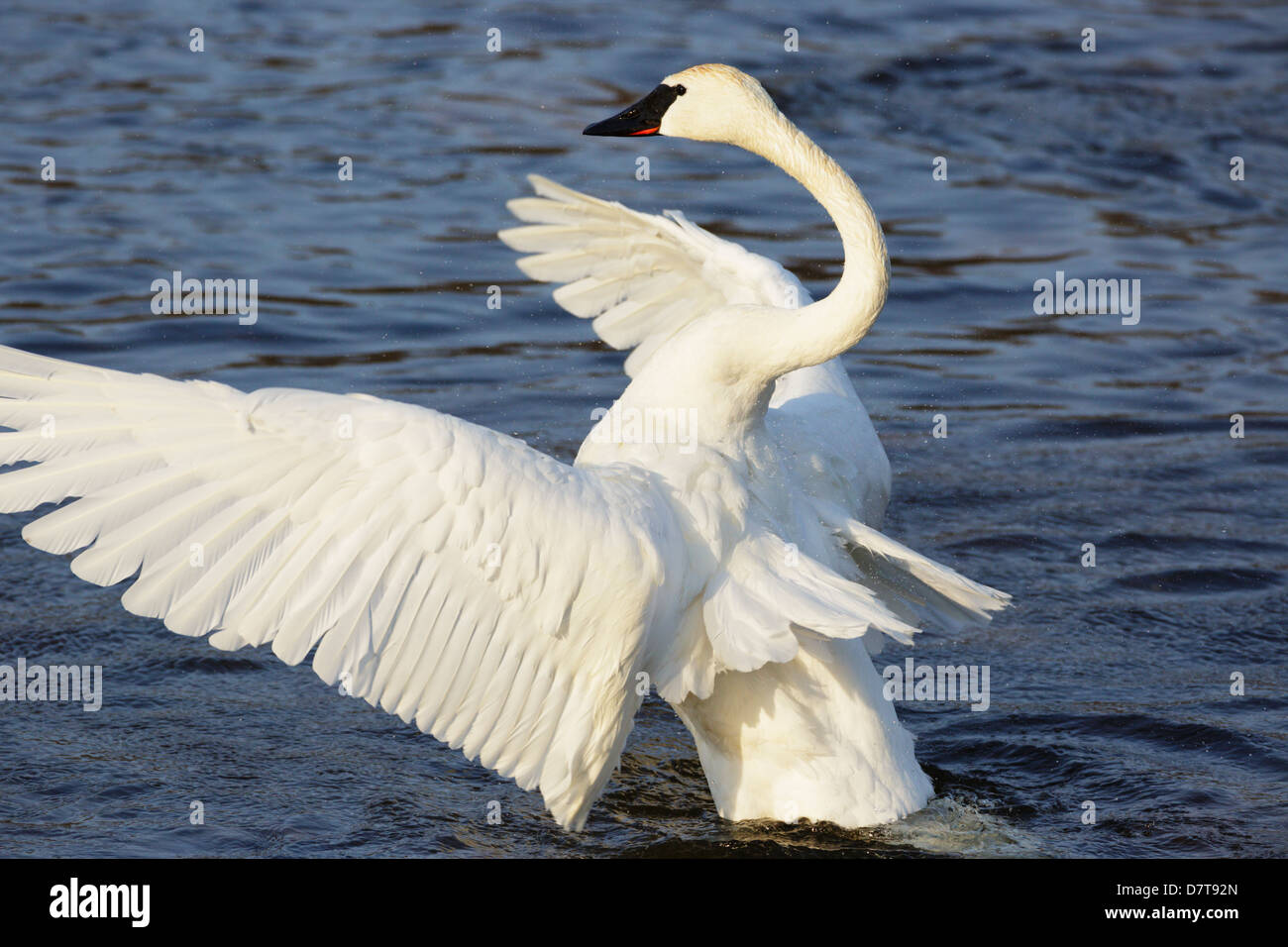 A Trumpeter Swan on the Mississippi River extends its massive wings - Minnesota, USA. - Stock Image