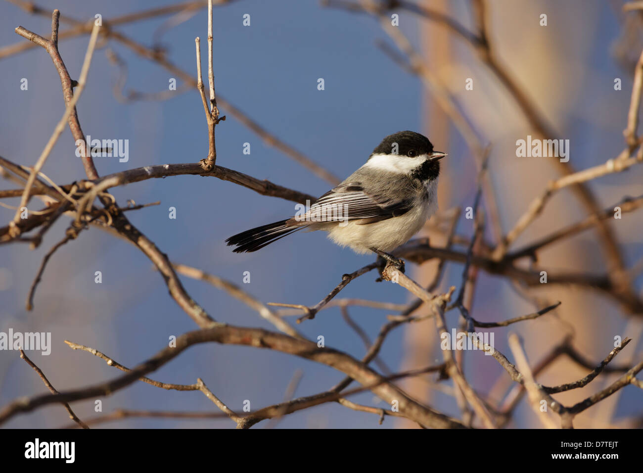 Black-capped Chickadee (Poecile atricapillus) in a late winter tree. - Stock Image