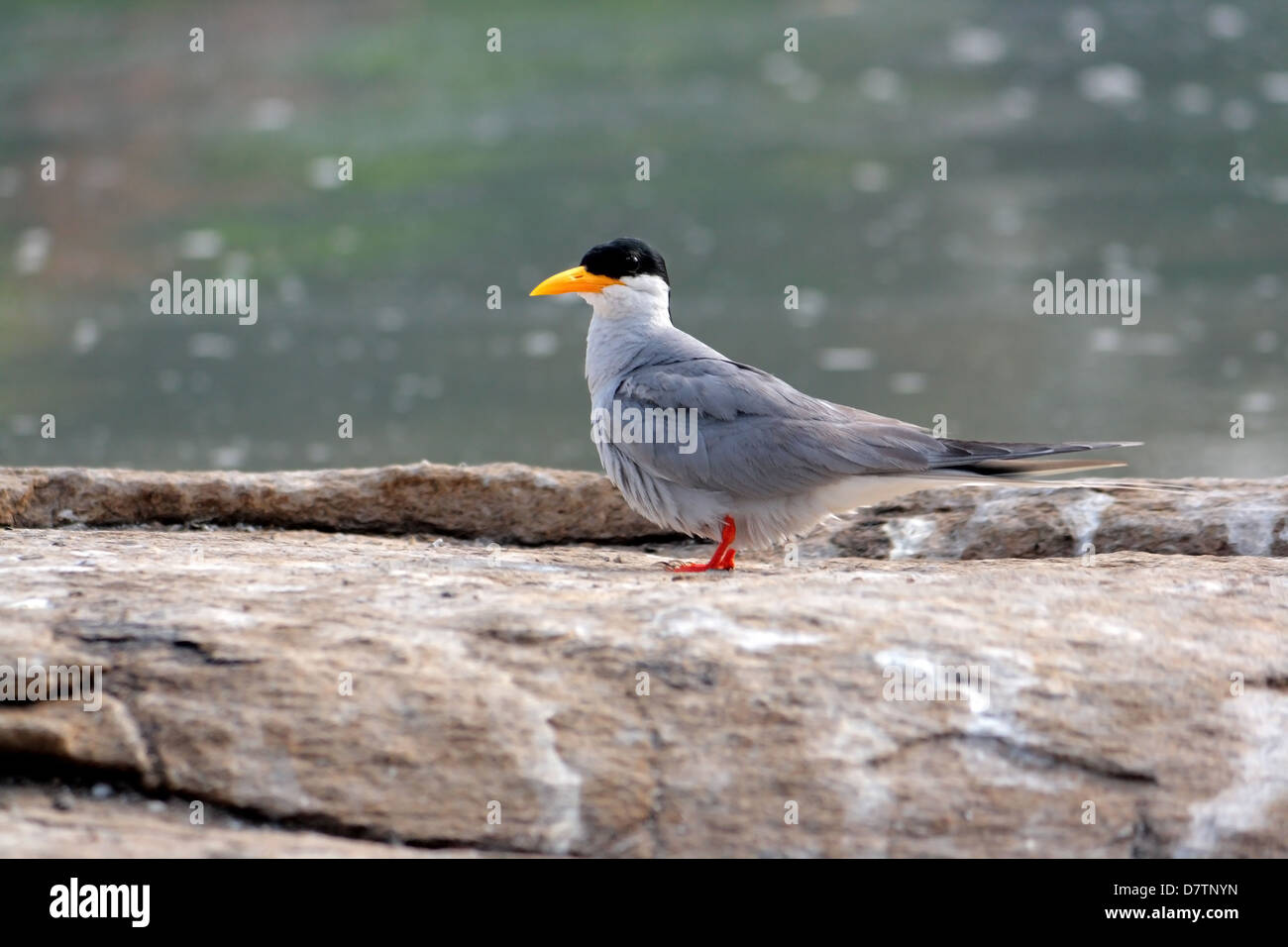 The Indian River Tern, Sterna aurantia - Stock Image