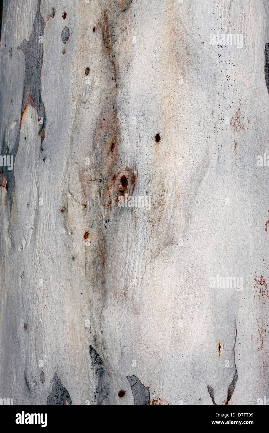 Close-up of bark of Red Spotted Gum/ Brittle Gum- Eucalyptus mannifera ssp. mannifera- Family Myrtaceae - Stock Image