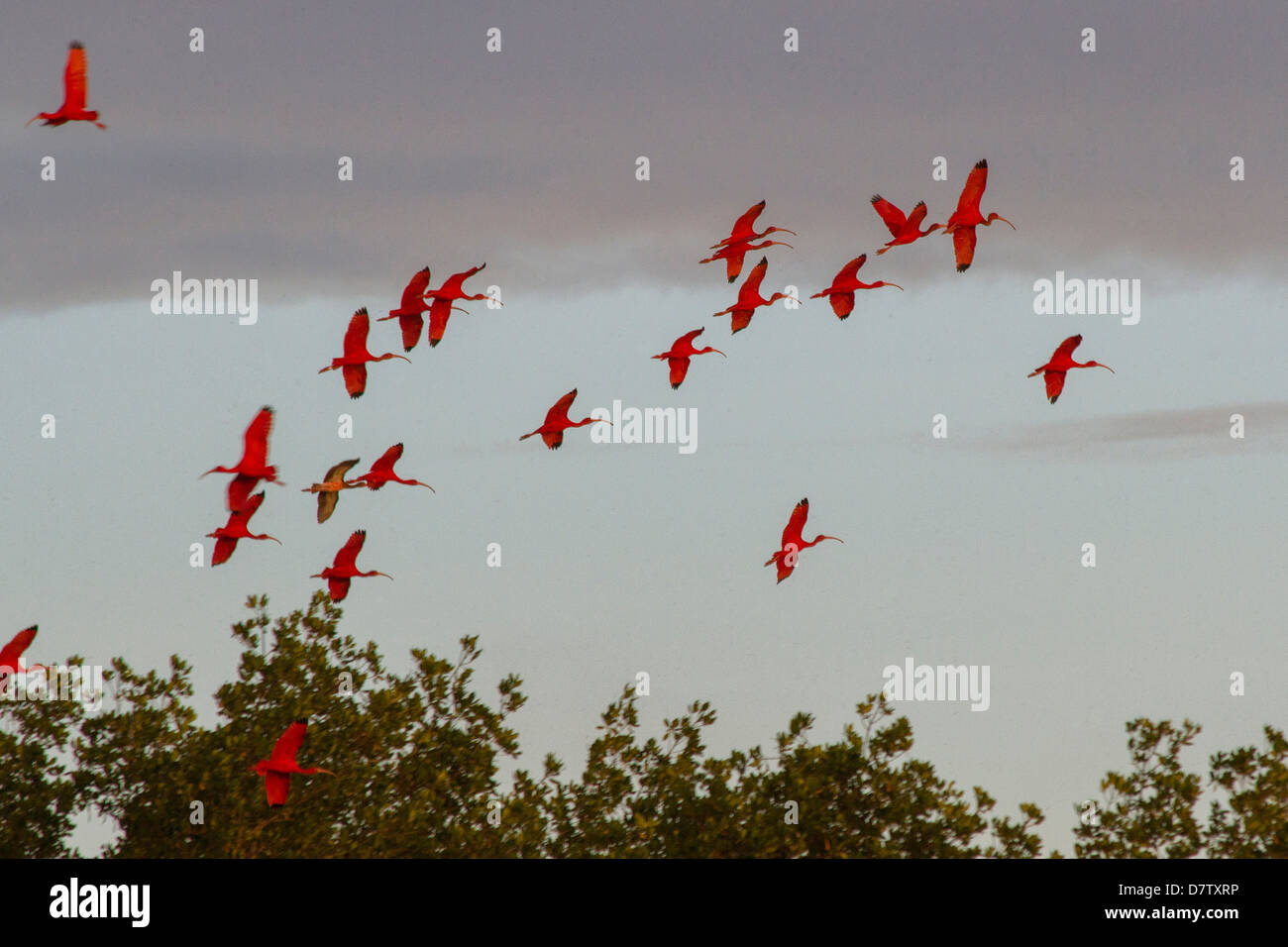 Scarlet ibis return to roost at dusk, Caroni Swamp, Port-of-Spain, Trinidad, West Indies, Caribbean - Stock Image