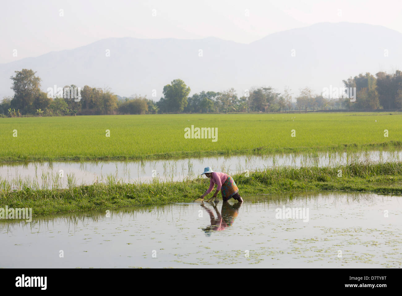 Woman working in paddy fields near Kengtung (Kyaingtong), Shan State, Burma - Stock Image