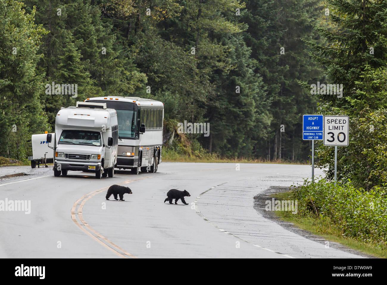American black bear (Ursus americanus) COY (cubs of year), on the road to Mendenhall Glacier, Southeast Alaska, USA Stock Photo