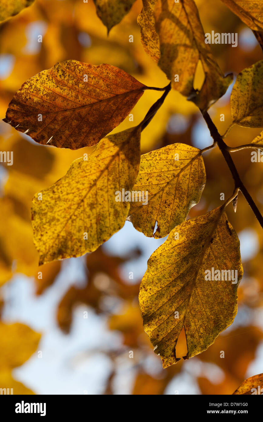 Beech leaves with autumn colours in the Cansiglio forest, Belluno, Veneto, Italy - Stock Image
