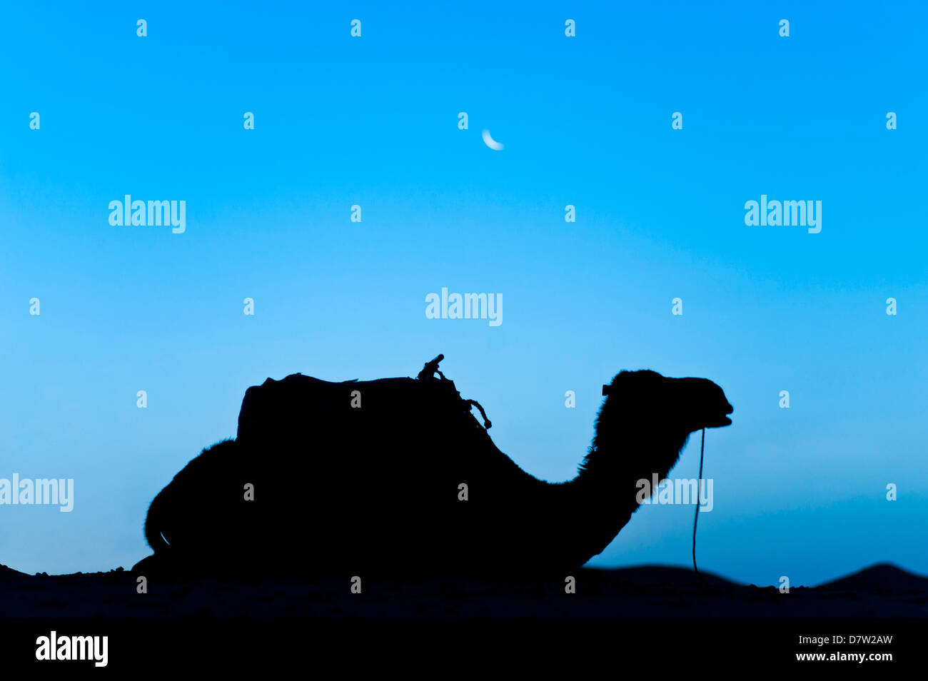 Silhouette of a camel in the desert at night, Erg Chebbi Desert, Morocco, North Africa Stock Photo