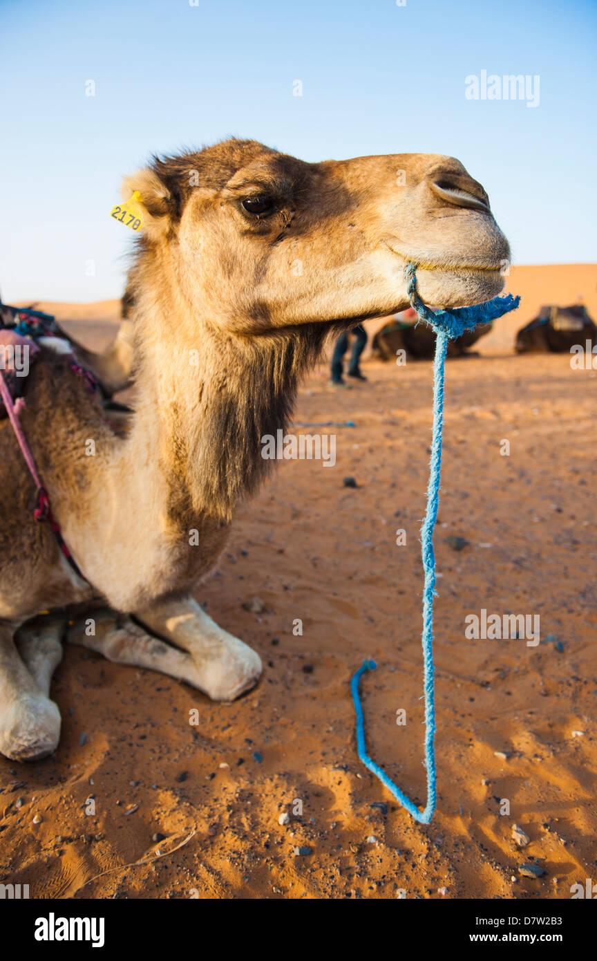 Camel portrait, Erg Chebbi Desert, Sahara Desert near Merzouga, Morocco, North Africa - Stock Image