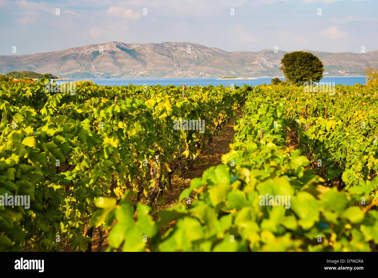 Vineyard, Lumbarda, Korcula Island, Dalmatian Coast, Adriatic, Croatia - Stock Image