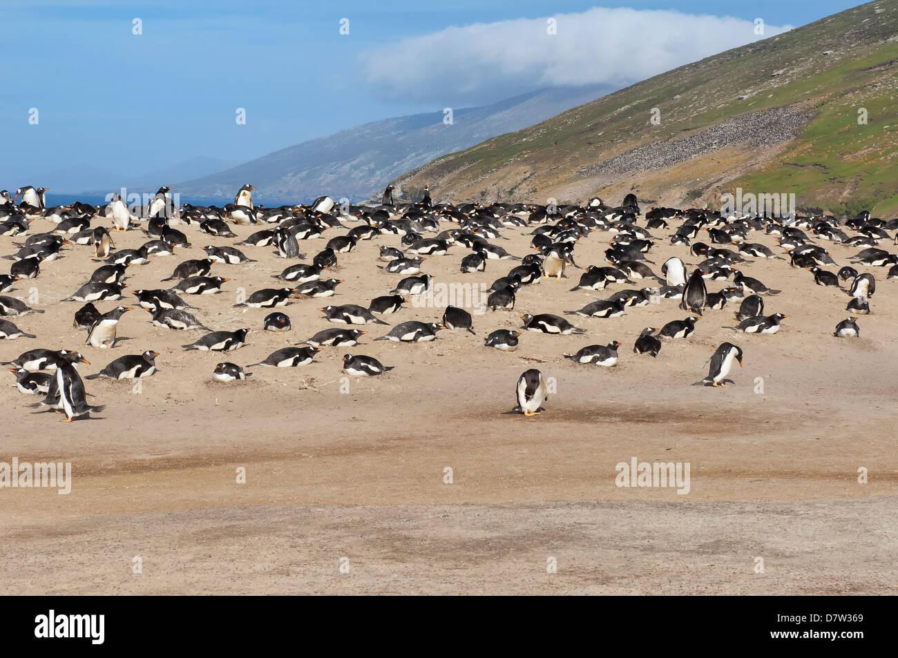 Gentoo penguin (Pygoscelis papua) rookery, Saunders Island, Falkland Islands, South America - Stock Image