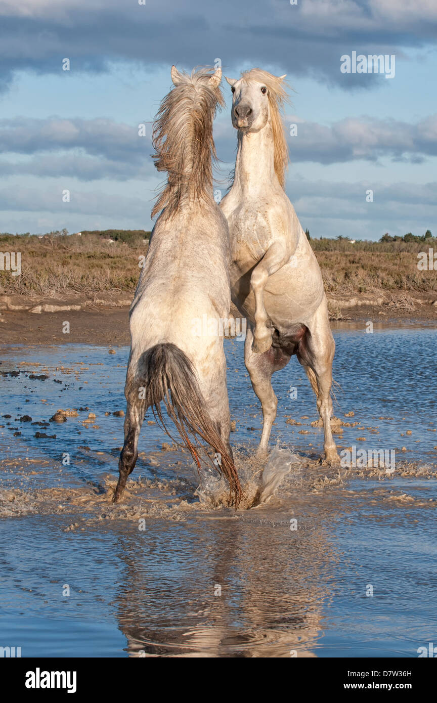 Camargue horses, stallions fighting in the water, Bouches du Rhone, Provence, France - Stock Image
