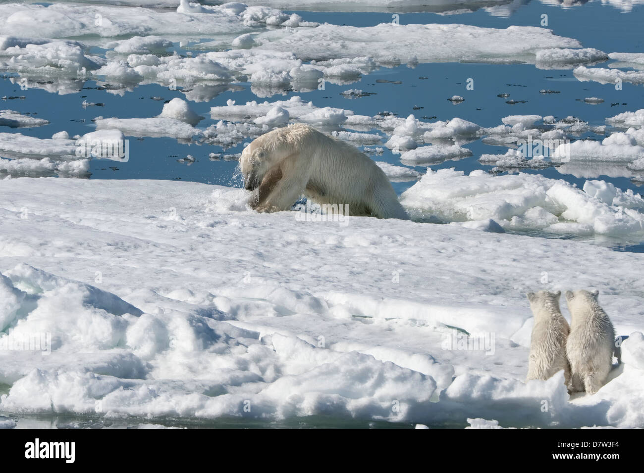 Female polar bear hunting a ringed seal accompanied by two cubs, Svalbard Archipelago, Barents Sea, Norway, Scandinavia - Stock Image