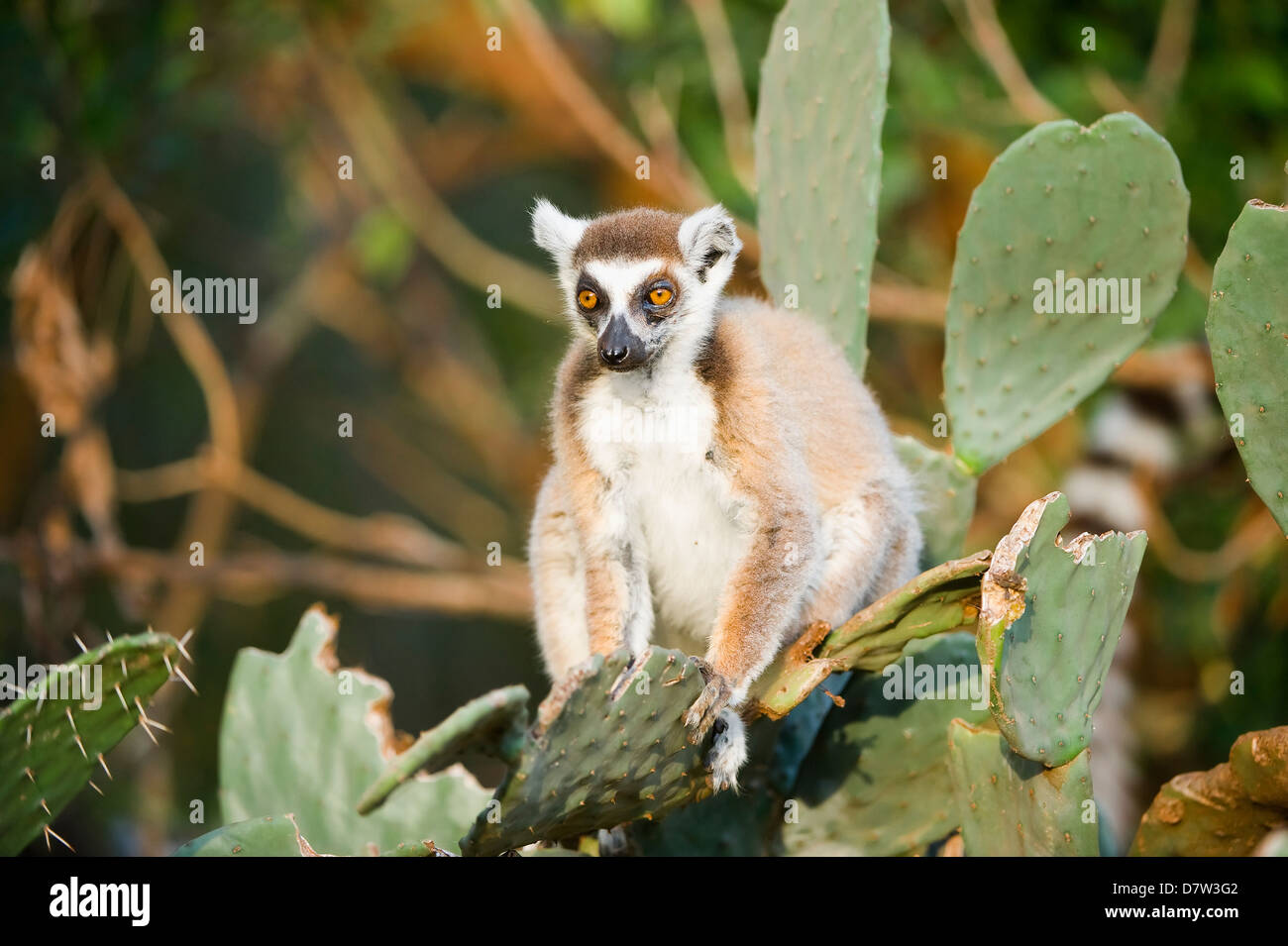 Ring-tailed lemur (Lemur catta) on cactus, near Threatened, Berenty Nature Reserve, Madagascar - Stock Image