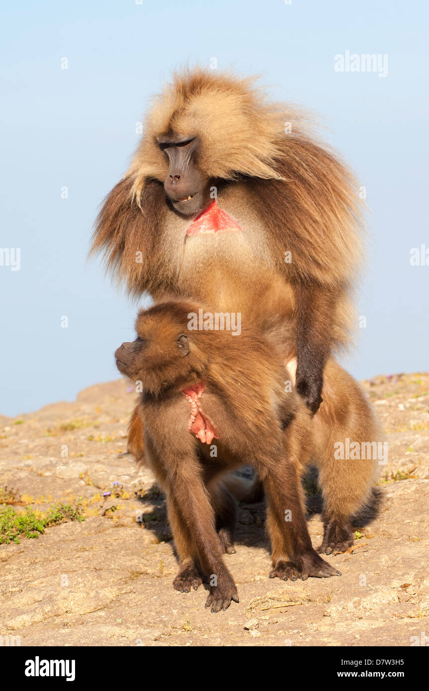 Mating Gelada baboons (Theropithecus Gelada), Simien Mountains National Park, Amhara region, North Ethiopia - Stock Image