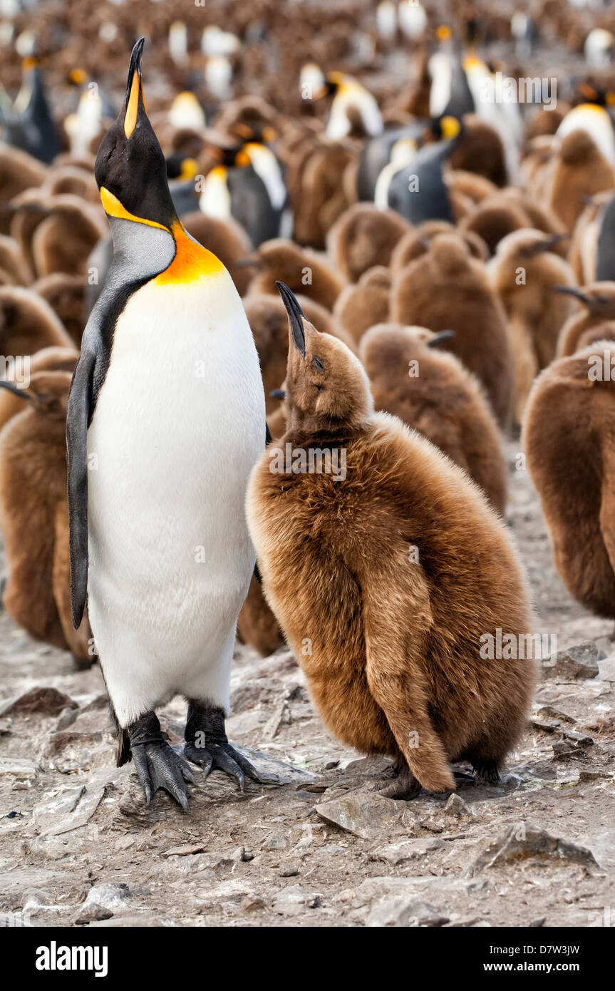 King penguin feeding a chick (Aptenodytes patagonicus), St. Andrews Bay, South Georgia Island - Stock Image