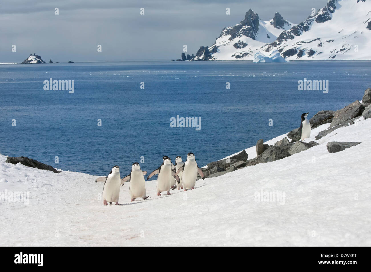 Chinstrap penguins walking up a glacial ice cap, Half Moon Island, South Shetland Island, Antarctic Peninsula, Antarctica - Stock Image