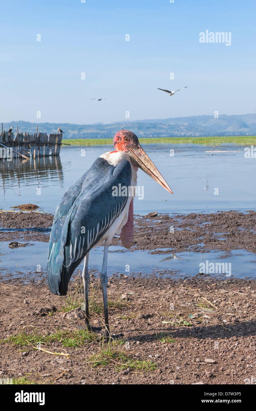 Marabou stork (Leptoptilos crumeniferus), Awasa harbour, Ethiopia - Stock Image
