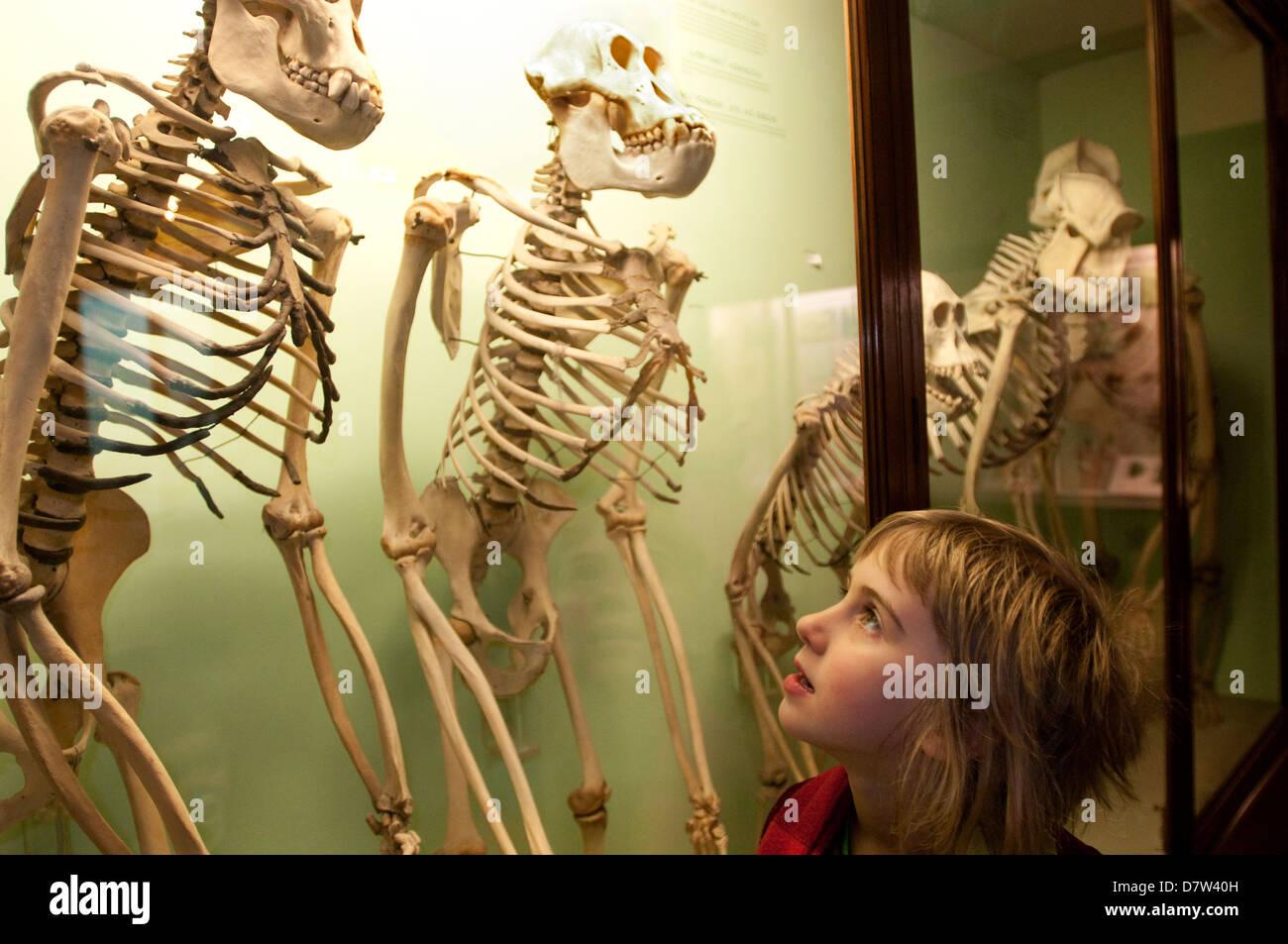 Girl looking at skeletons, Horniman Museum, London, England, UK - Stock Image
